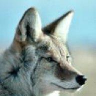 Coyote33